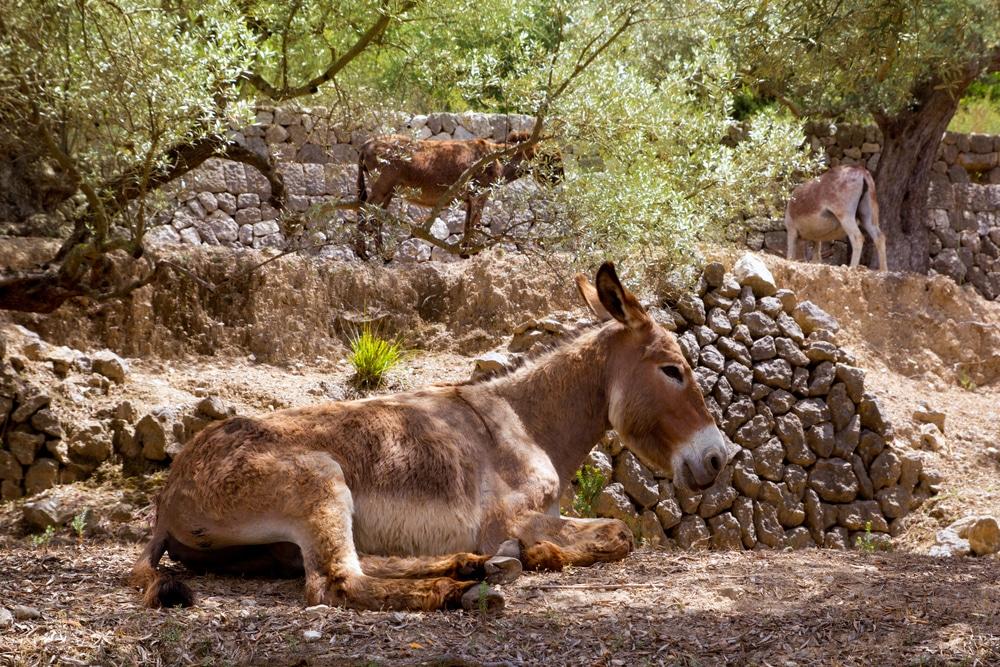 Burros salvajes en Natura Parc en Mallorca